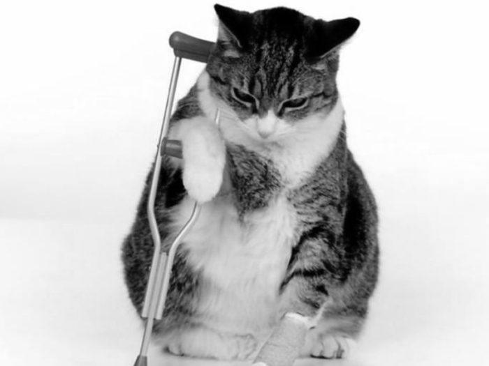 La Displasia De Cadera En Gatos